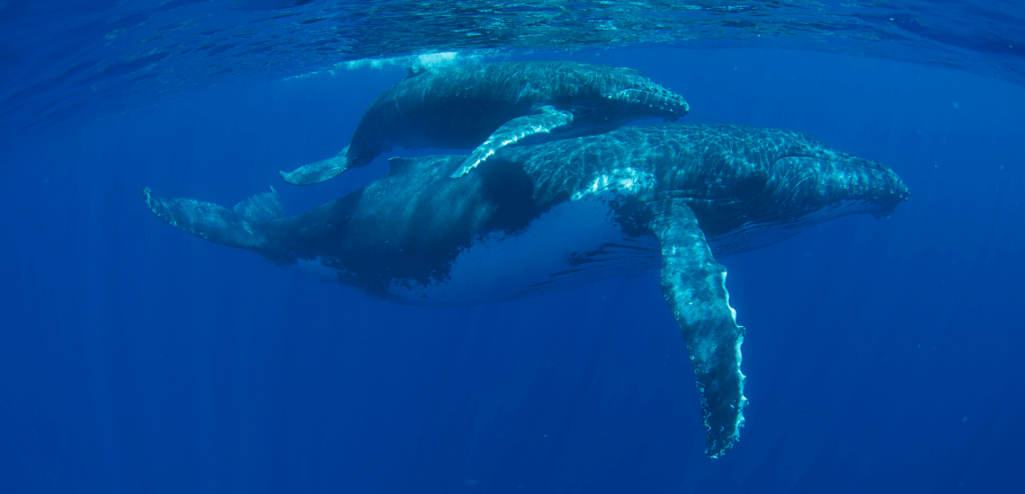 https://tahititourisme.jp/wp-content/uploads/2018/03/mooreaactivitiescenterwhaleswatching_1140x550-min.png
