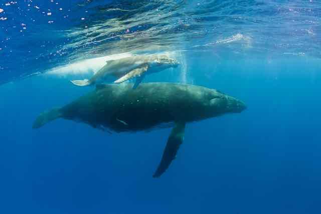 https://tahititourisme.jp/wp-content/uploads/2019/04/Bora-Bora-Humpback-Whales.jpeg