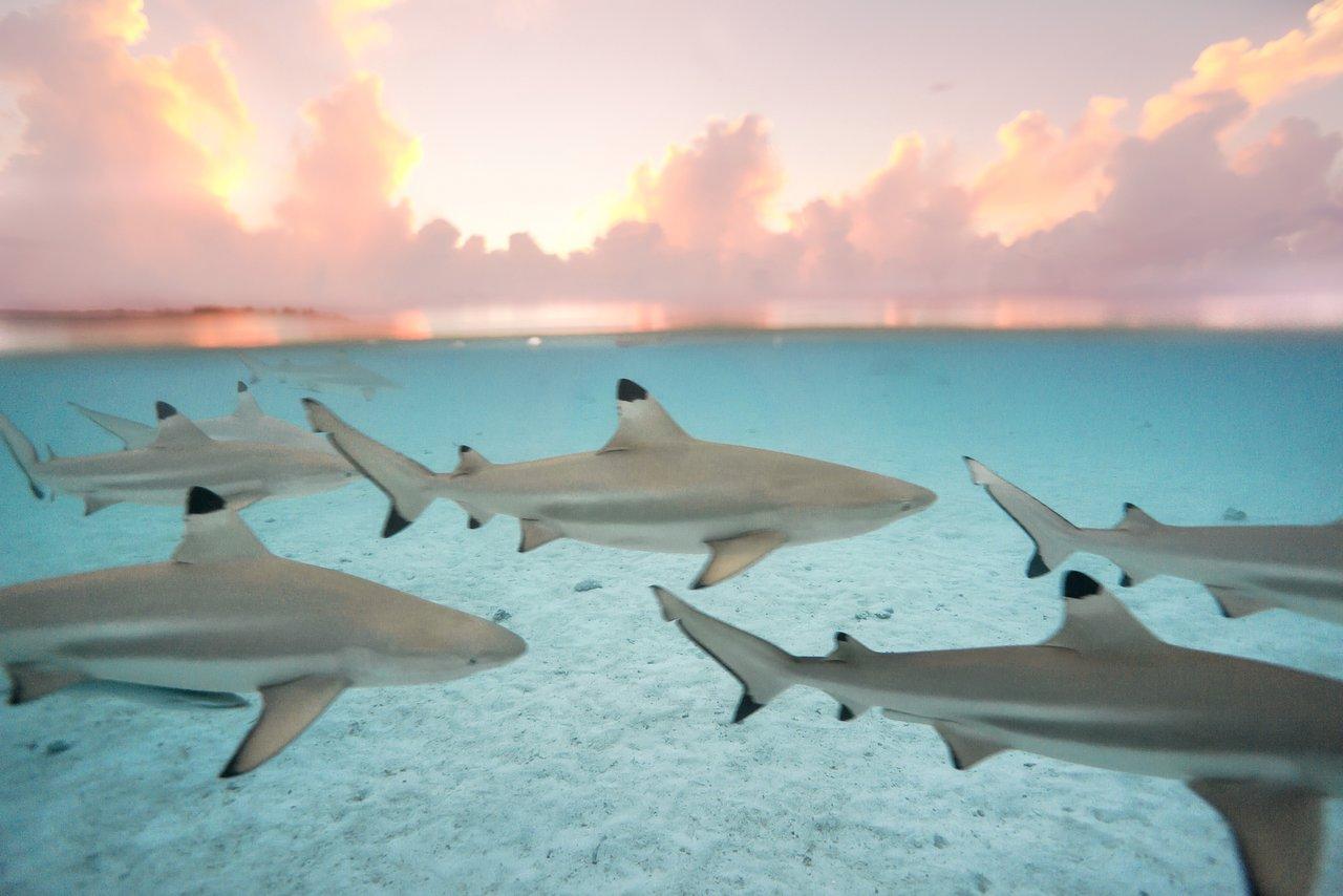 https://tahititourisme.jp/wp-content/uploads/2020/06/blacktip-reef-shark-sunset.jpg