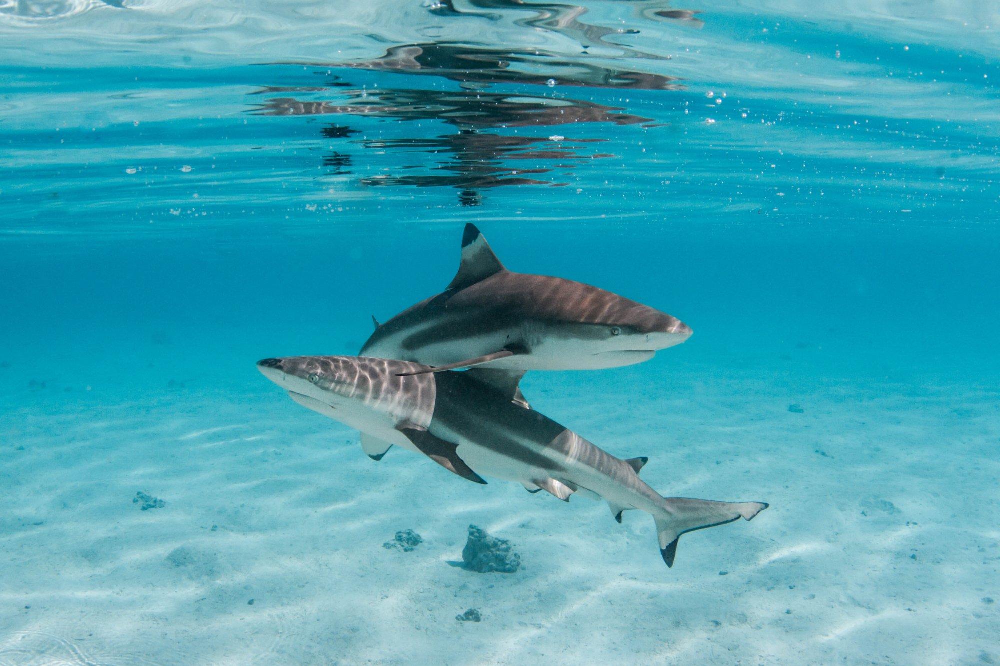 https://tahititourisme.jp/wp-content/uploads/2020/06/deux-magnifiques-requins.jpg
